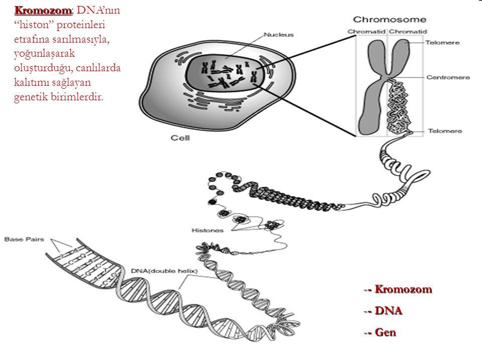 """Kromozom Kromozom; DNA'nın """"histon"""" proteinleri etrafına sarılmasıyla, yoğunlaşarak oluşturduğu, canlılarda kalıtımı sağlayan genetik birimlerdir. --"""