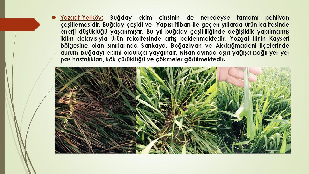  Tokat : Genel görüntü her bölgede olduğu gibi çok güzel, arazinin % 20'sine mısır, kalan % 80'ine ise Flamura-85, Momchil, Konya 2000 gibi buğday çeşitleri ekilmiştir.