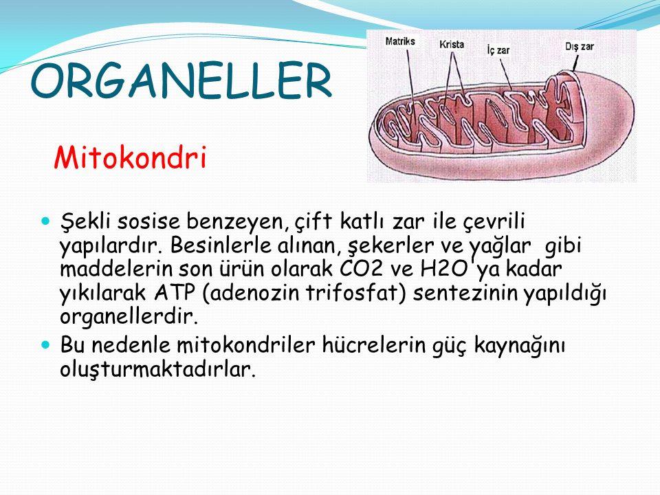ORGANELLER Mitokondri Şekli sosise benzeyen, çift katlı zar ile çevrili yapılardır. Besinlerle alınan, şekerler ve yağlar gibi maddelerin son ürün ola