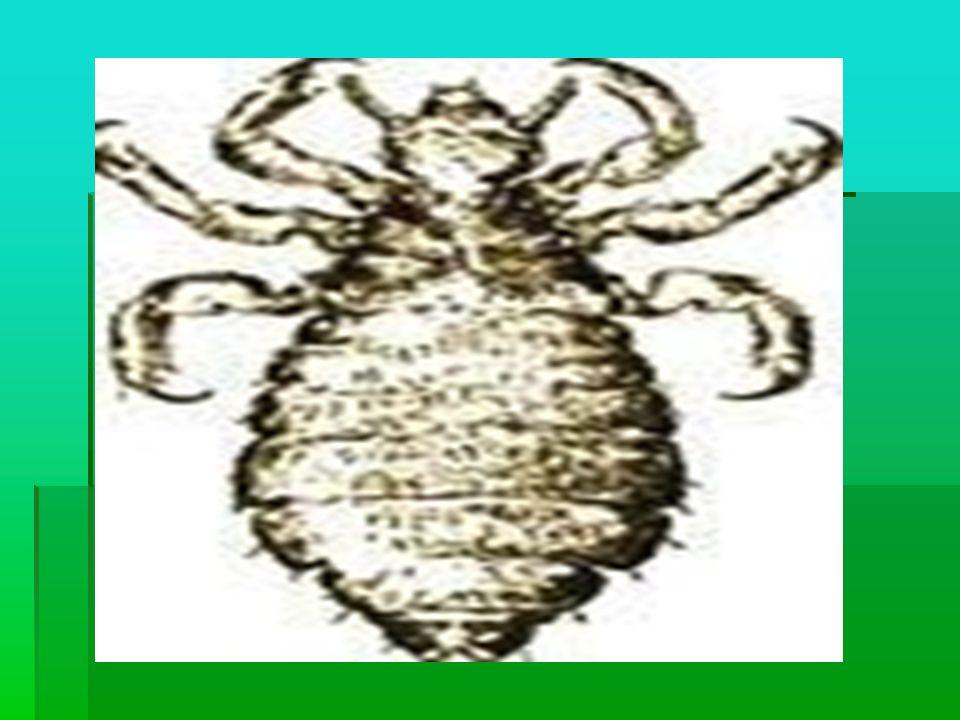  BİT:Saç bitleri saçlarda çoğalıp yaşayan, kafa derisindeki kandan beslenen küçük böceklerdir.  Bitlerin büyüklüğü susam tanesi kadar olup, 6 bacakl