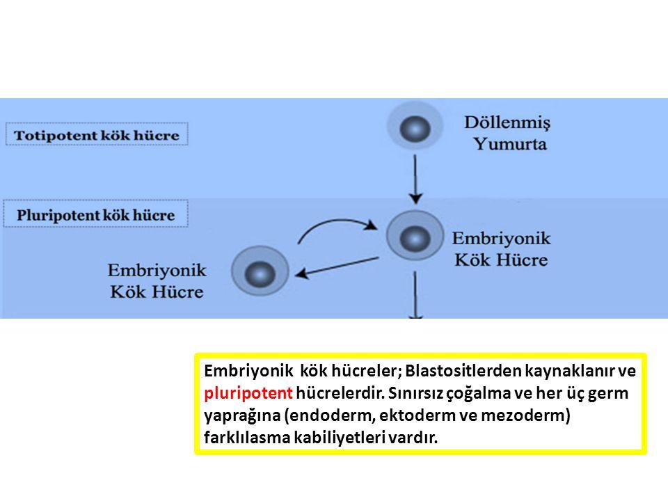 Embriyonik kök hücreler; Blastositlerden kaynaklanır ve pluripotent hücrelerdir. Sınırsız çoğalma ve her üç germ yaprağına (endoderm, ektoderm ve mezo