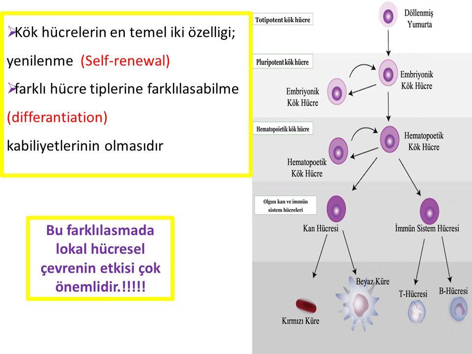  Kök hücrelerin en temel iki özelligi; yenilenme (Self-renewal)  farklı hücre tiplerine farklılasabilme (differantiation) kabiliyetlerinin olmasıdır