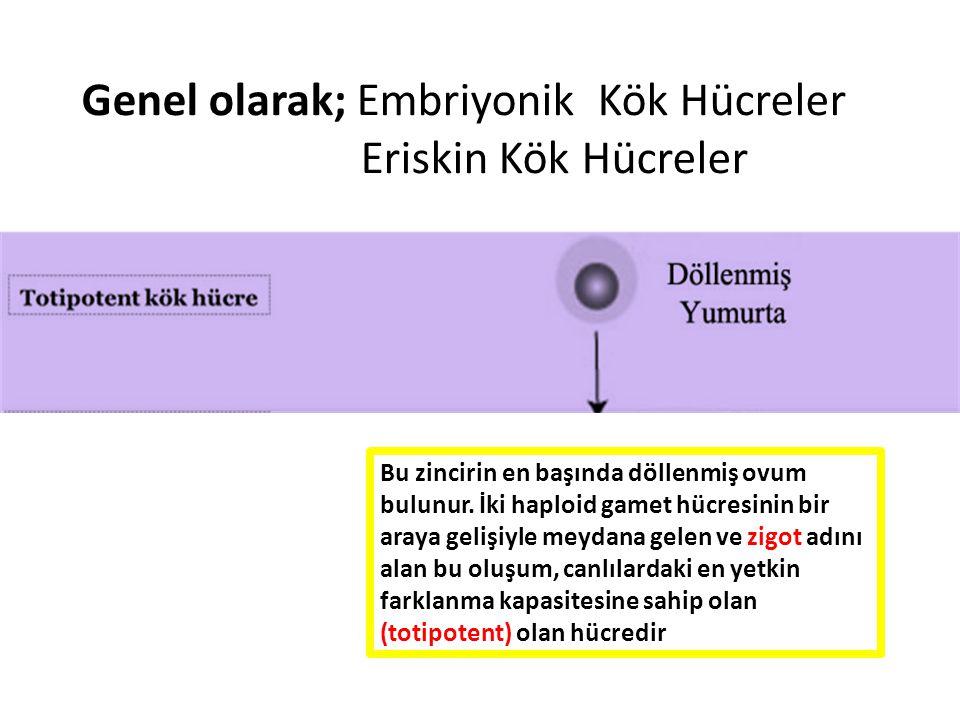 Genel olarak; Embriyonik Kök Hücreler Eriskin Kök Hücreler Bu zincirin en başında döllenmiş ovum bulunur. İki haploid gamet hücresinin bir araya geliş
