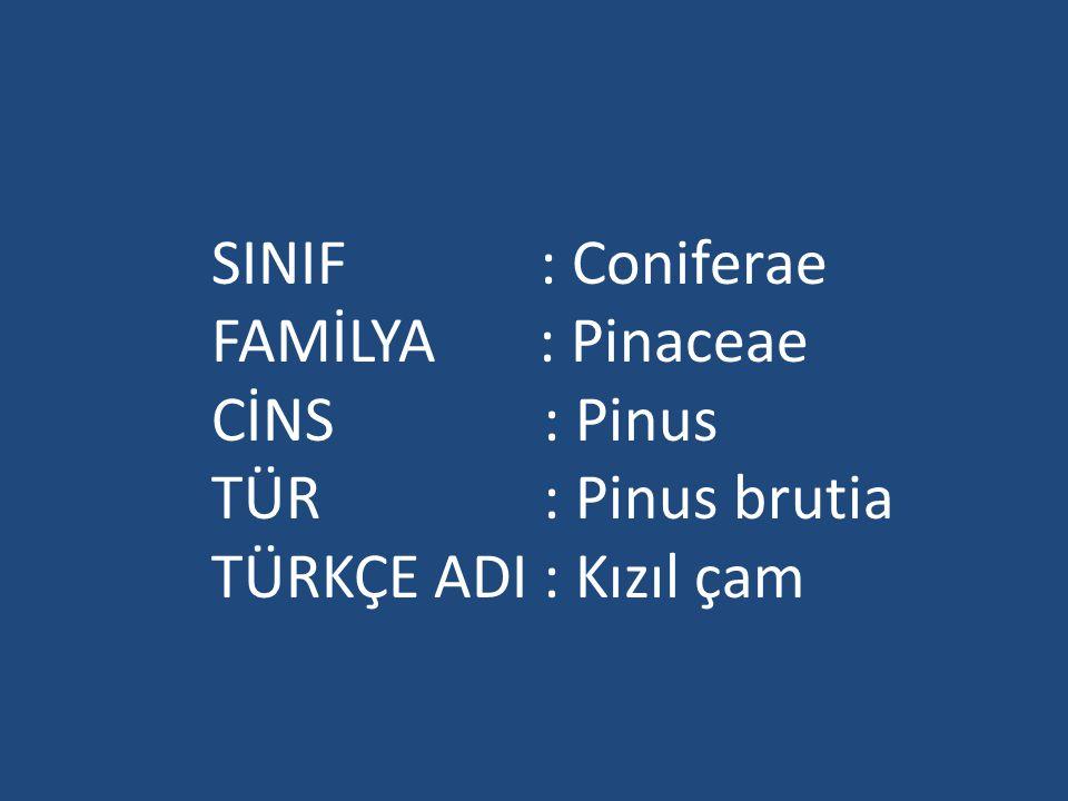 SINIF : Coniferae FAMİLYA : Pinaceae CİNS : Pinus TÜR : Pinus brutia TÜRKÇE ADI : Kızıl çam