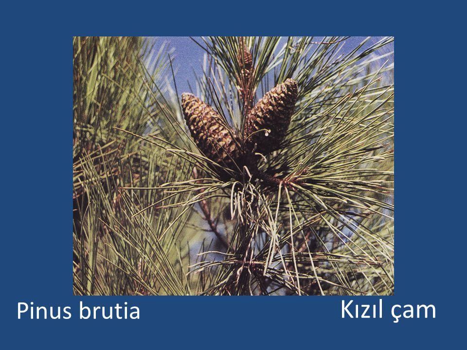 Pinus brutia Kızıl çam