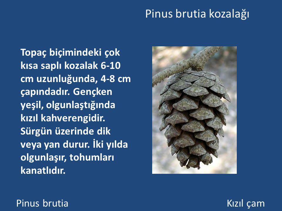 Pinus brutia kozalağı Pinus brutia Kızıl çam Topaç biçimindeki çok kısa saplı kozalak 6-10 cm uzunluğunda, 4-8 cm çapındadır.
