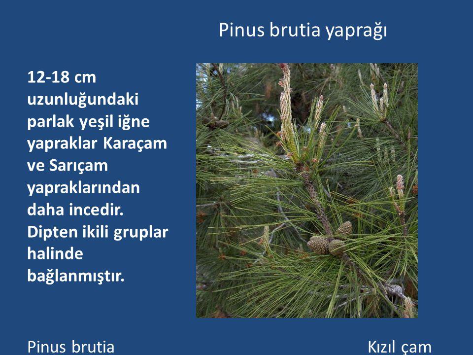 Pinus brutia yaprağı 12-18 cm uzunluğundaki parlak yeşil iğne yapraklar Karaçam ve Sarıçam yapraklarından daha incedir.