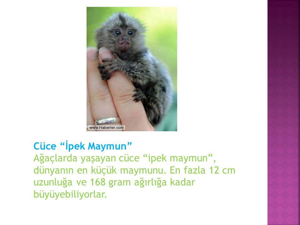 """Cüce """"İpek Maymun"""" Ağaçlarda yaşayan cüce """"ipek maymun"""", dünyanın en küçük maymunu. En fazla 12 cm uzunluğa ve 168 gram ağırlığa kadar büyüyebiliyorla"""