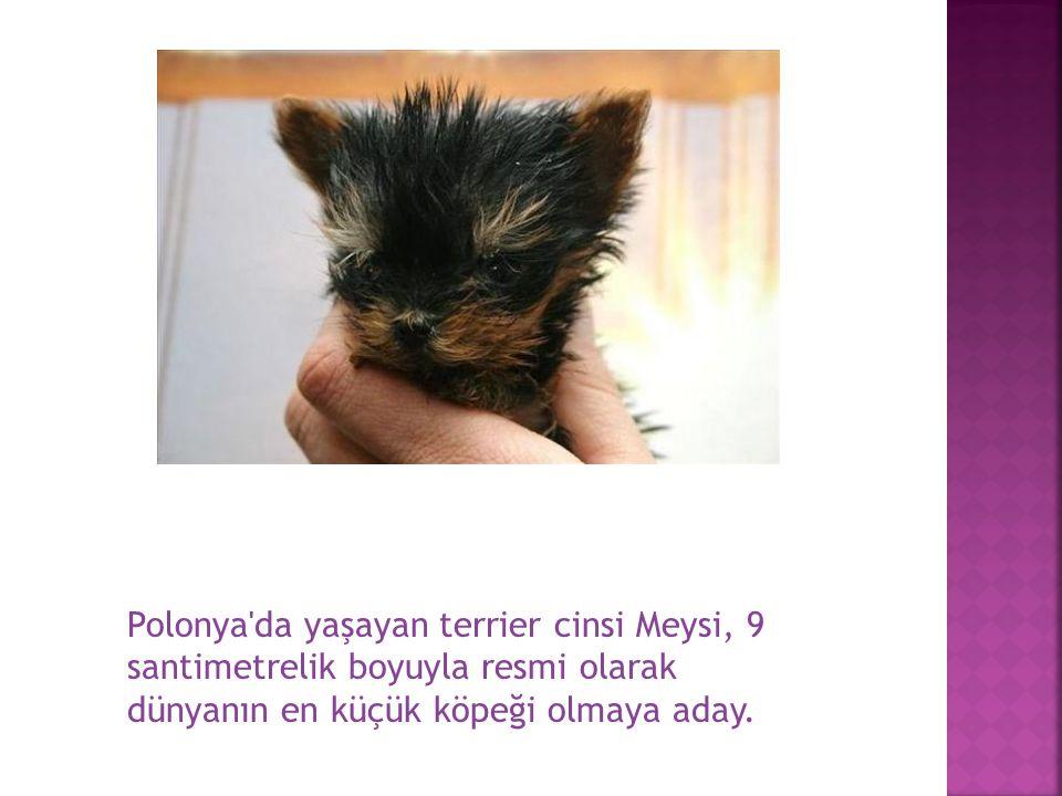 Polonya'da yaşayan terrier cinsi Meysi, 9 santimetrelik boyuyla resmi olarak dünyanın en küçük köpeği olmaya aday.