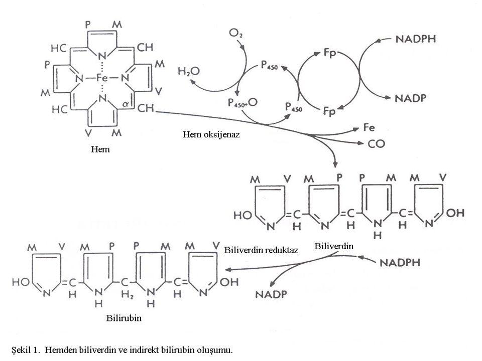 Bilirubinin taşınması İndirekt bilirubin plazmada albumine bağlanarak taşınır.