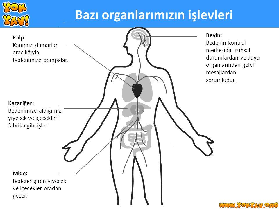 Karaciğer: Bedenimize aldığımız yiyecek ve içecekleri fabrika gibi işler.