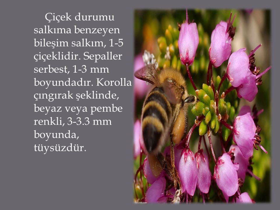 Çiçek durumu salkıma benzeyen bileşim salkım, 1-5 çiçeklidir. Sepaller serbest, 1-3 mm boyundadır. Korolla çıngırak şeklinde, beyaz veya pembe renkli,