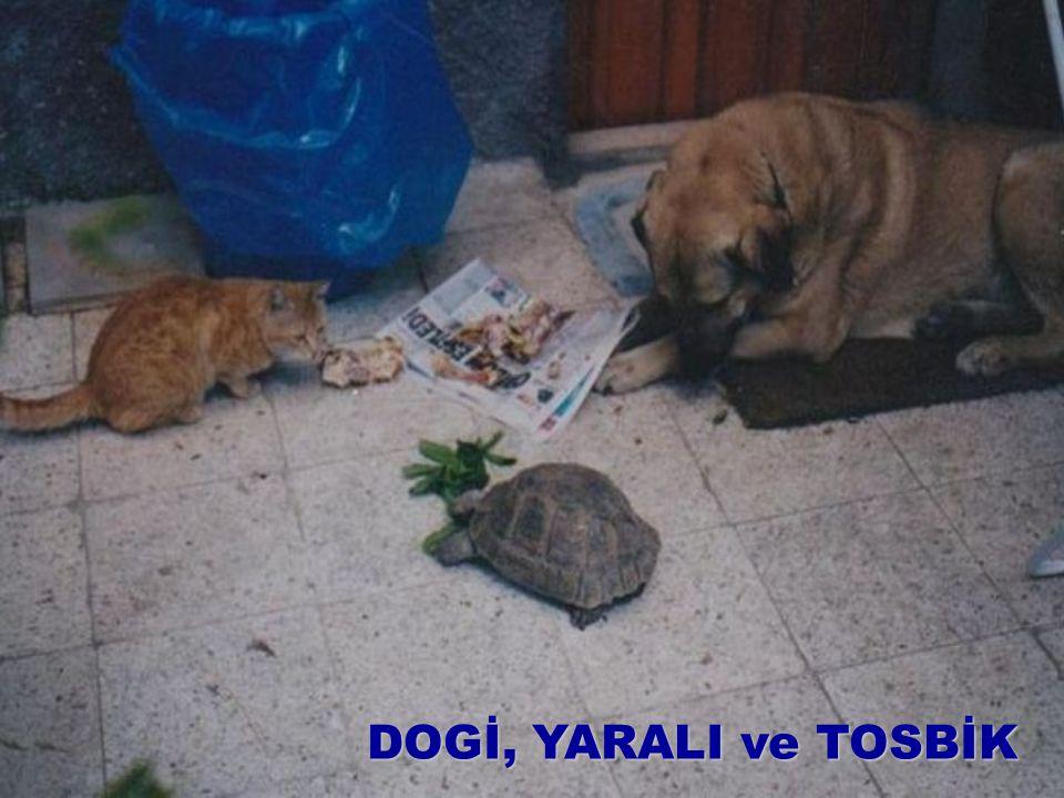 DOGİ, YARALI ve TOSBİK