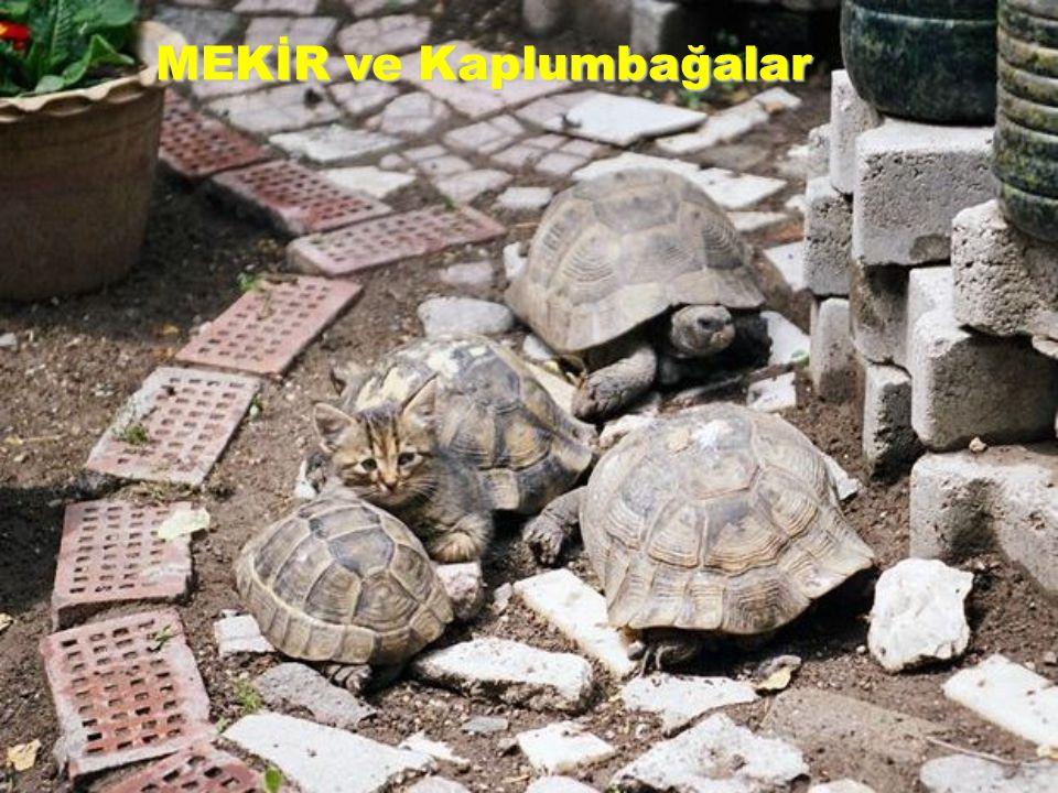 MEKİR ve Kaplumbağalar