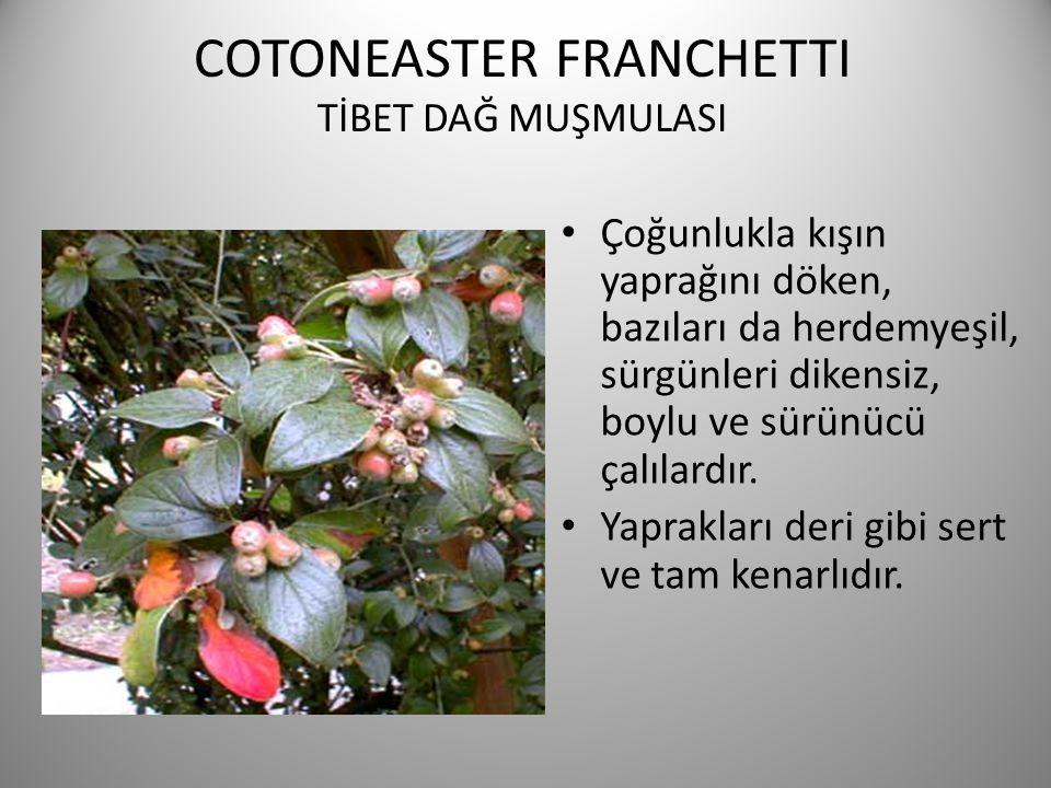 COTONEASTER FRANCHETTI TİBET DAĞ MUŞMULASI Çoğunlukla kışın yaprağını döken, bazıları da herdemyeşil, sürgünleri dikensiz, boylu ve sürünücü çalılardı