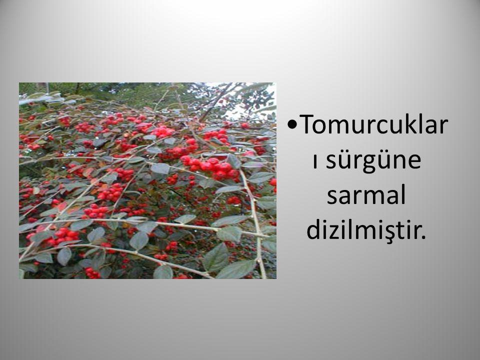 Çiçekler teker teker bulunur ya da yalancı şemsiye kurulu oluşturur, renkleri beyaz veya pembedir.