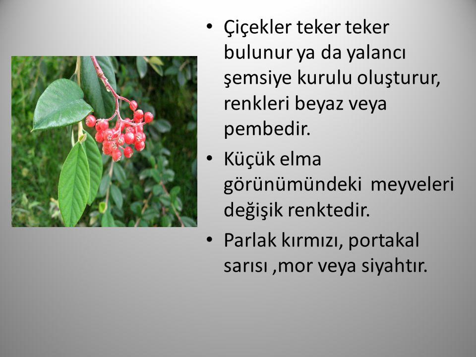 Çiçekler teker teker bulunur ya da yalancı şemsiye kurulu oluşturur, renkleri beyaz veya pembedir. Küçük elma görünümündeki meyveleri değişik renktedi