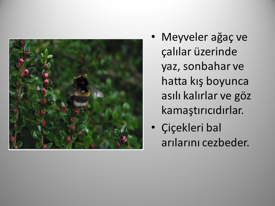 Meyveler ağaç ve çalılar üzerinde yaz, sonbahar ve hatta kış boyunca asılı kalırlar ve göz kamaştırıcıdırlar. Çiçekleri bal arılarını cezbeder.