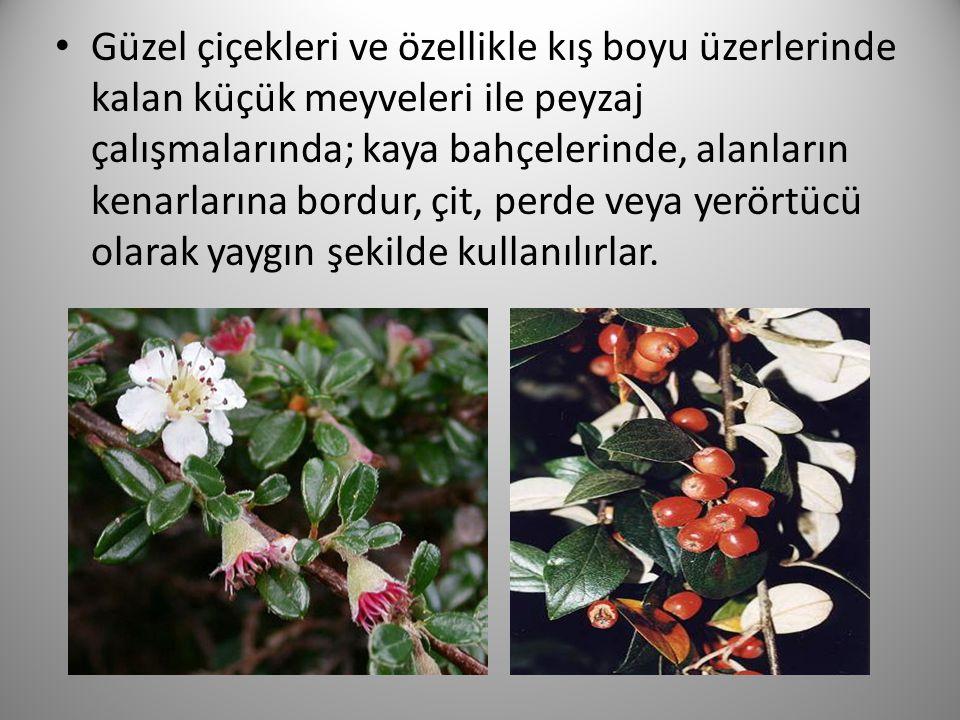 Güzel çiçekleri ve özellikle kış boyu üzerlerinde kalan küçük meyveleri ile peyzaj çalışmalarında; kaya bahçelerinde, alanların kenarlarına bordur, çi