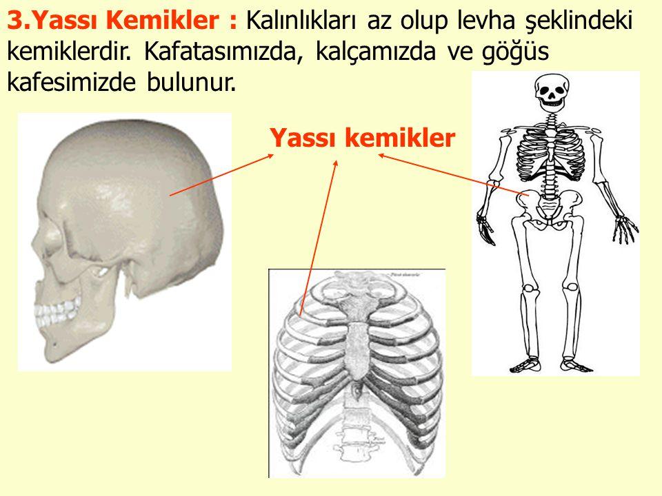 3.Yassı Kemikler : Kalınlıkları az olup levha şeklindeki kemiklerdir. Kafatasımızda, kalçamızda ve göğüs kafesimizde bulunur. Yassı kemikler