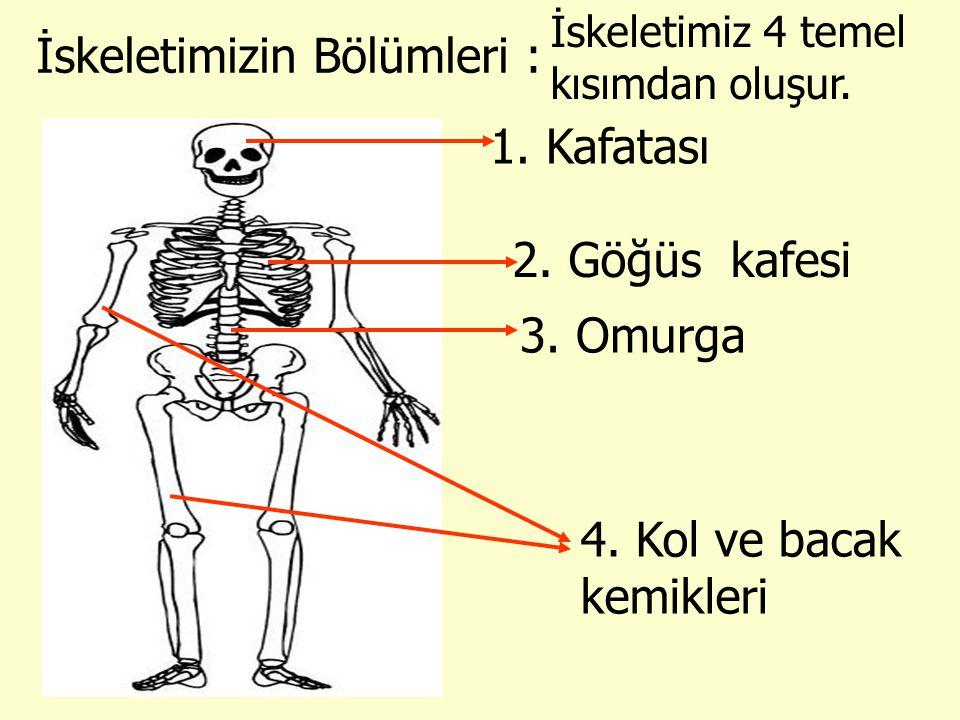 İskeletimizin Bölümleri : 1. Kafatası 2. Göğüs kafesi 3. Omurga 4. Kol ve bacak kemikleri İskeletimiz 4 temel kısımdan oluşur.