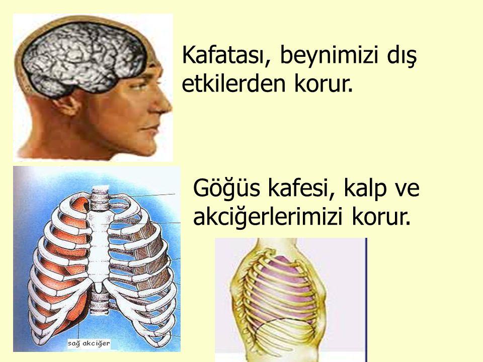 Kafatası, beynimizi dış etkilerden korur. Göğüs kafesi, kalp ve akciğerlerimizi korur.