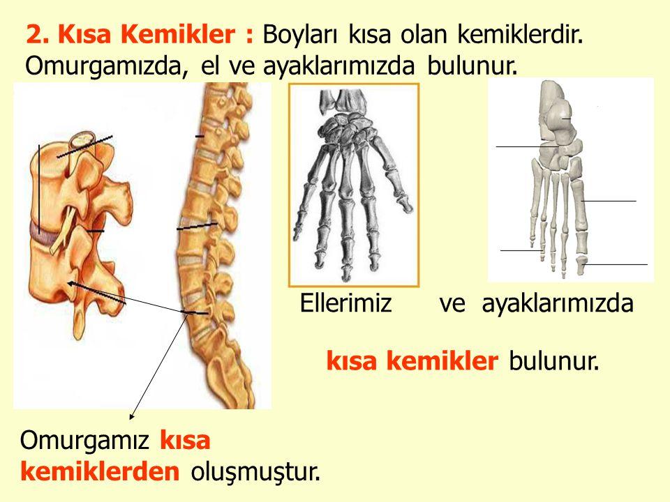 2. Kısa Kemikler : Boyları kısa olan kemiklerdir. Omurgamızda, el ve ayaklarımızda bulunur. Omurgamız kısa kemiklerden oluşmuştur. Ellerimizve ayaklar