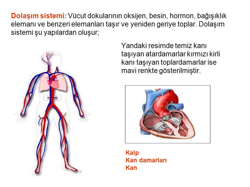 Dolaşım sistemi: Vücut dokularının oksijen, besin, hormon, bağışıklık elemanı ve benzeri elemanları taşır ve yeniden geriye toplar. Dolaşım sistemi şu