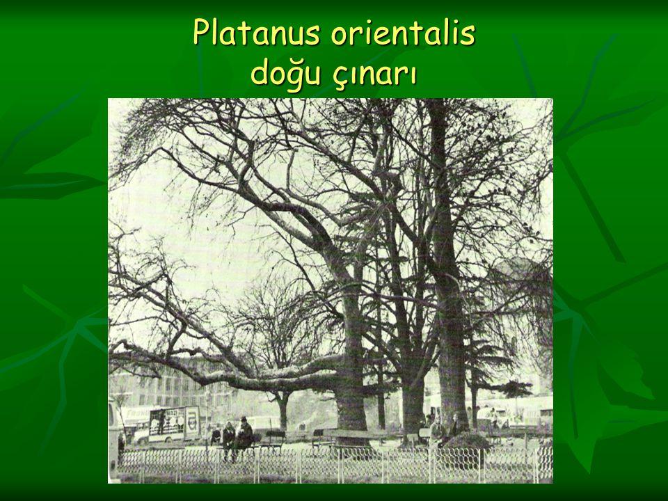 Bilimsel Sınıflandırma Sınıf :Magnoliatae Sınıf :Magnoliatae Alt sınıf :Hamamlidae Alt sınıf :Hamamlidae Takım :Hamamlidales Takım :Hamamlidales Familya :Platanaceae Familya :Platanaceae Cins :Platanus Cins :Platanus Tür :Platanus orientalis Tür :Platanus orientalis