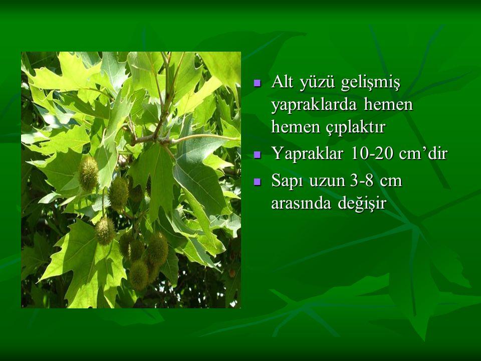 Alt yüzü gelişmiş yapraklarda hemen hemen çıplaktır Alt yüzü gelişmiş yapraklarda hemen hemen çıplaktır Yapraklar 10-20 cm'dir Yapraklar 10-20 cm'dir Sapı uzun 3-8 cm arasında değişir Sapı uzun 3-8 cm arasında değişir