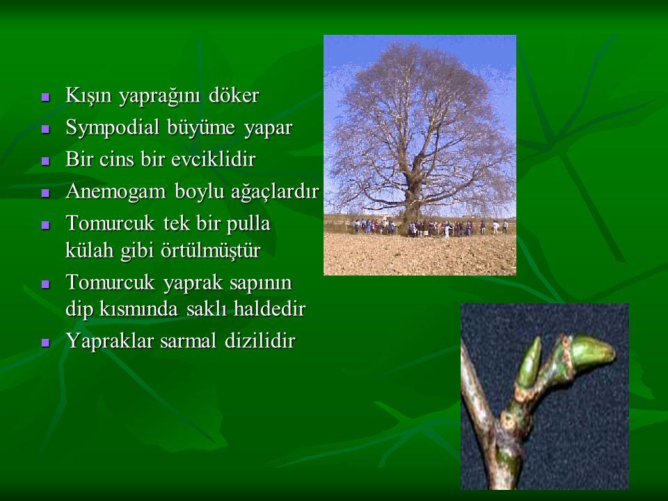 Kışın yaprağını döker Kışın yaprağını döker Sympodial büyüme yapar Sympodial büyüme yapar Bir cins bir evciklidir Bir cins bir evciklidir Anemogam boylu ağaçlardır Anemogam boylu ağaçlardır Tomurcuk tek bir pulla külah gibi örtülmüştür Tomurcuk tek bir pulla külah gibi örtülmüştür Tomurcuk yaprak sapının dip kısmında saklı haldedir Tomurcuk yaprak sapının dip kısmında saklı haldedir Yapraklar sarmal dizilidir Yapraklar sarmal dizilidir