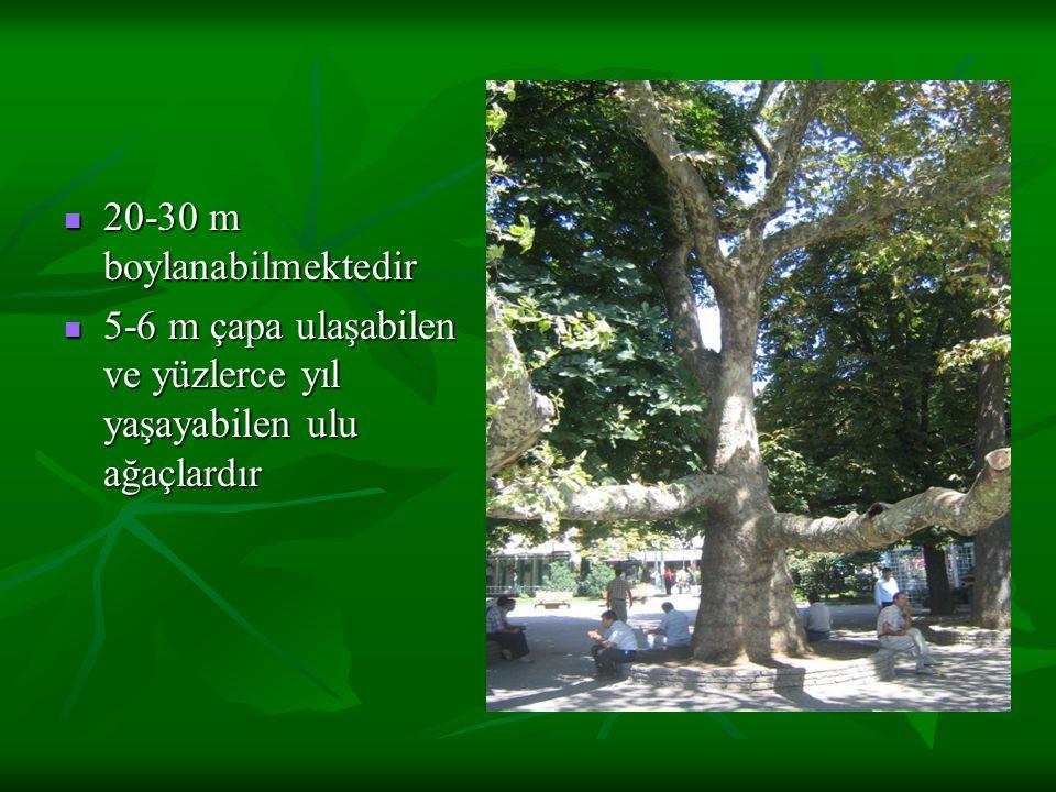 20-30 m boylanabilmektedir 20-30 m boylanabilmektedir 5-6 m çapa ulaşabilen ve yüzlerce yıl yaşayabilen ulu ağaçlardır 5-6 m çapa ulaşabilen ve yüzlerce yıl yaşayabilen ulu ağaçlardır