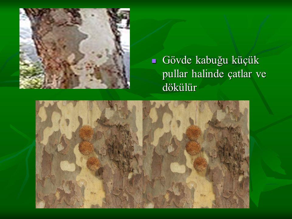 Açık yeşil yapraklar 5-7 loblu,loblar derin çoğu kez orta damara doğru ilerler Açık yeşil yapraklar 5-7 loblu,loblar derin çoğu kez orta damara doğru ilerler Loblar sivri uçlu,tali loblarıda vardır Loblar sivri uçlu,tali loblarıda vardır Kenarları düzensiz kaba dişli veya düzdür Kenarları düzensiz kaba dişli veya düzdür