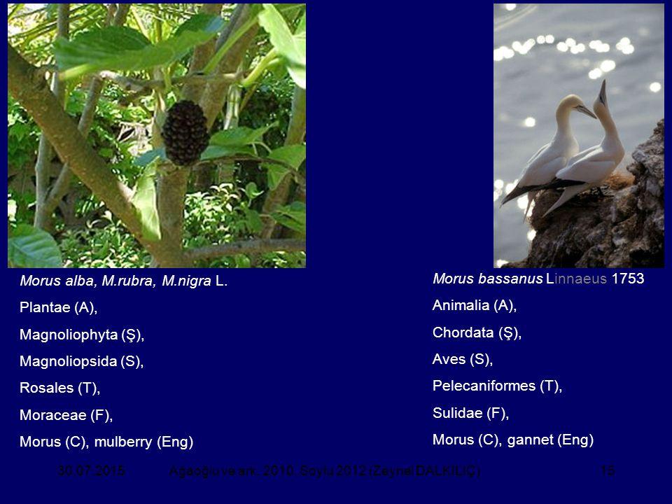 15 Morus bassanus Linnaeus 1753 Animalia (A), Chordata (Ş), Aves (S), Pelecaniformes (T), Sulidae (F), Morus (C), gannet (Eng) Morus alba, M.rubra, M.