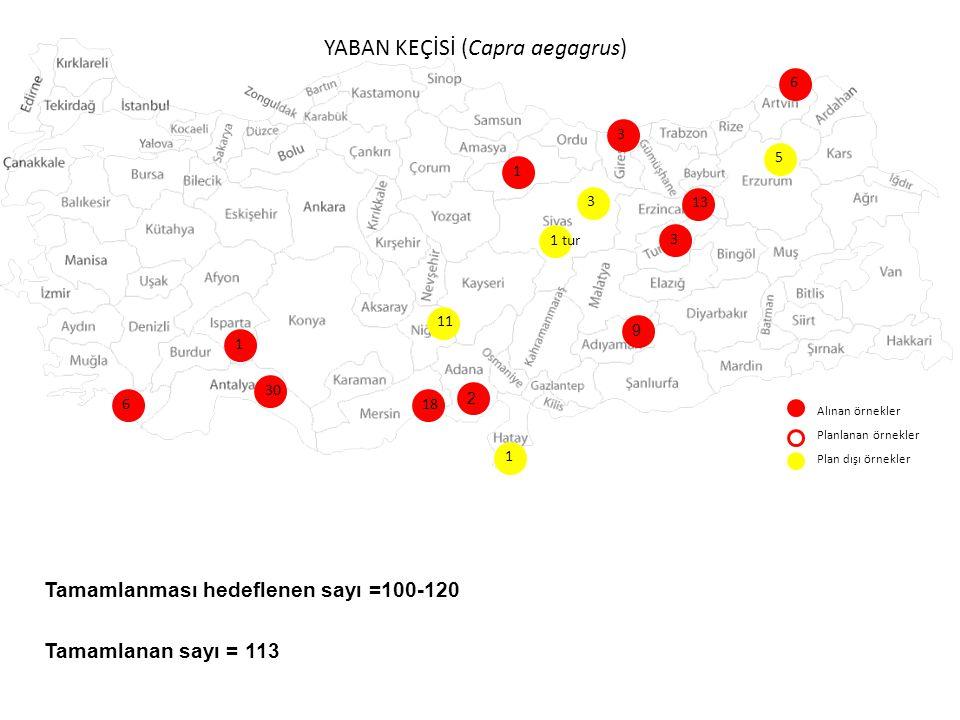 YABAN KEÇİSİ (Capra aegagrus) Alınan örnekler Planlanan örnekler Plan dışı örnekler 6 30 18 9 3 3 11 13 1 6 3 1 5 1 tur Tamamlanması hedeflenen sayı =