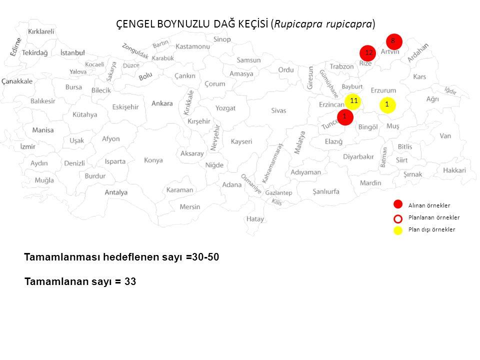 ÇENGEL BOYNUZLU DAĞ KEÇİSİ (Rupicapra rupicapra) Alınan örnekler Planlanan örnekler Plan dışı örnekler 11 8 12 1 Tamamlanması hedeflenen sayı =30-50 T