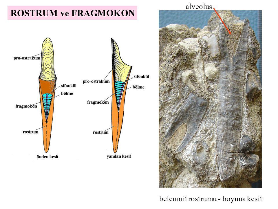 alveolus belemnit rostrumu - boyuna kesit