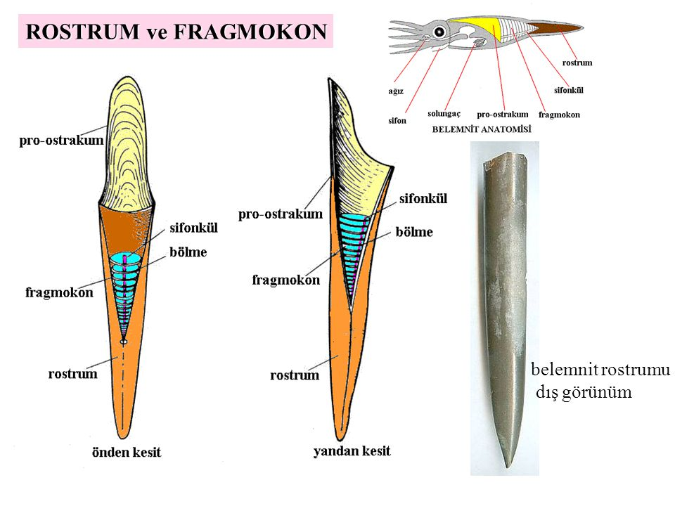 ROSTRUM ve FRAGMOKON belemnit rostrumu dış görünüm