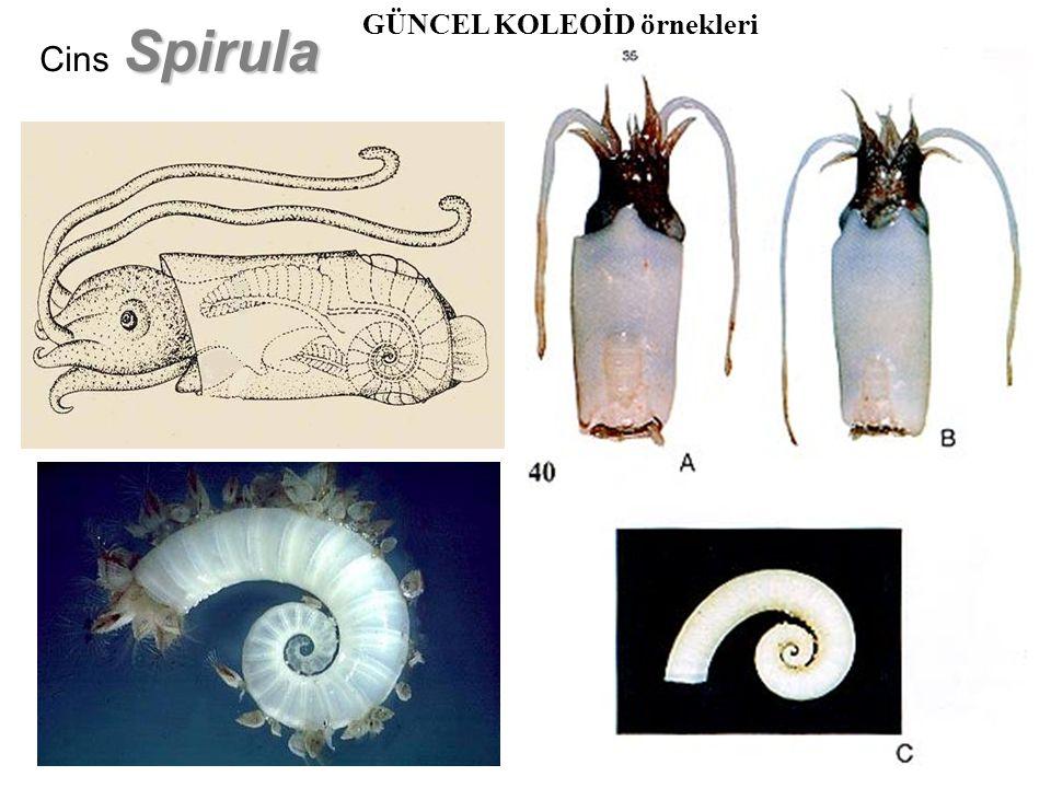 Argonauta Cins Argonauta GÜNCEL KOLEOİD örnekleri