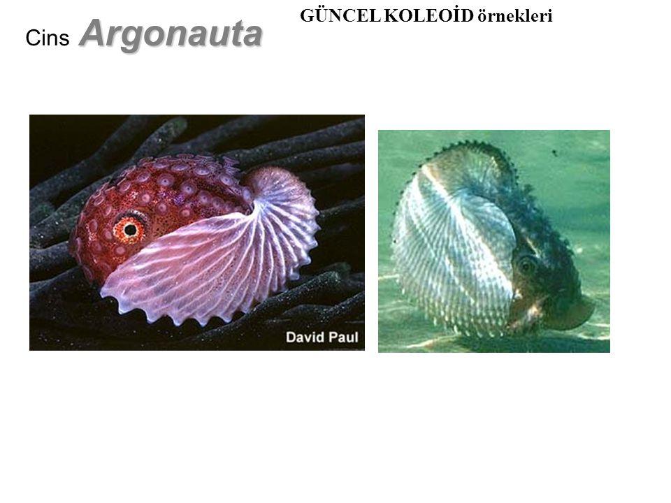 Argonauta Cins Argonauta