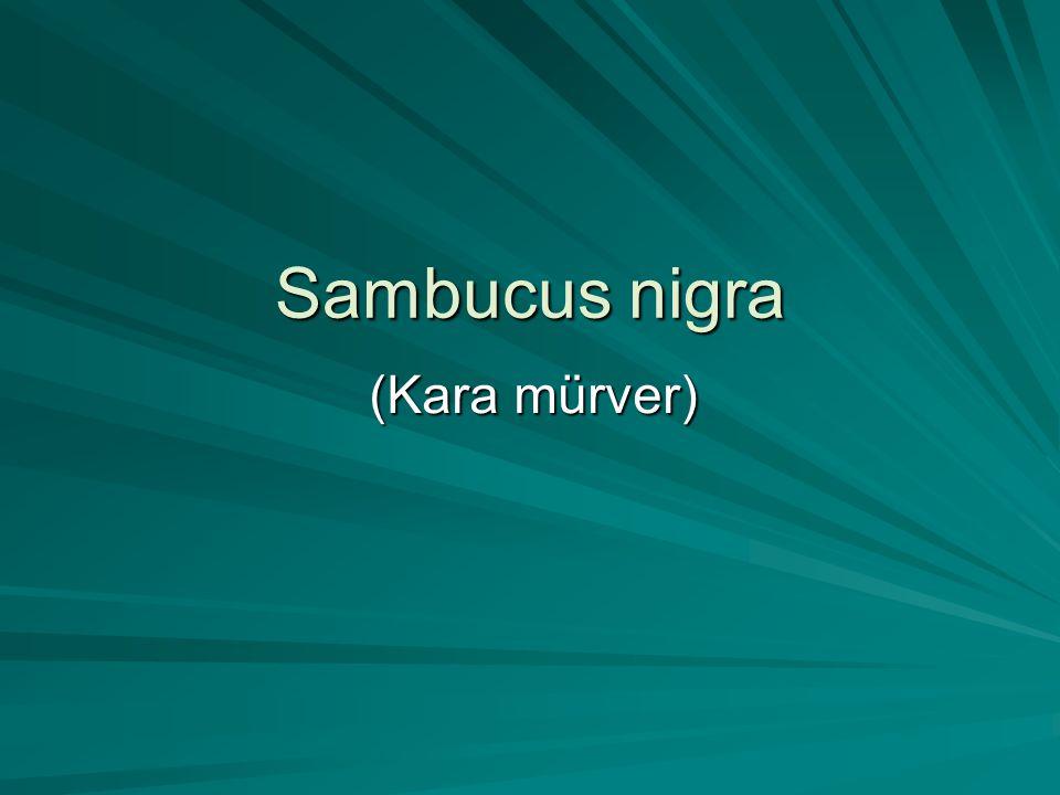 Sambucus nigra (Kara mürver)