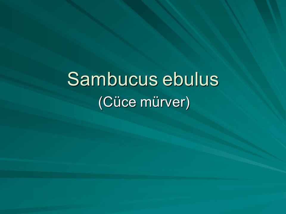 Sambucus ebulus (Cüce mürver)