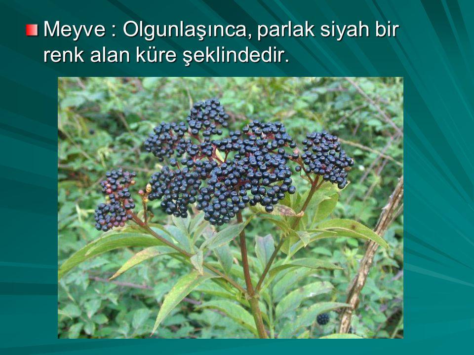 Meyve : Olgunlaşınca, parlak siyah bir renk alan küre şeklindedir.