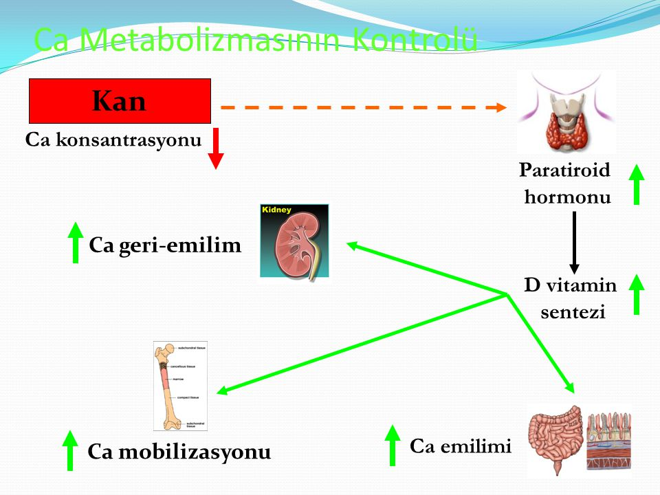 Ca Metabolizmasının Kontrolü Ca konsantrasyonu Paratiroid hormonu D vitamin sentezi Ca emilimi Kan Ca mobilizasyonu Ca geri-emilim