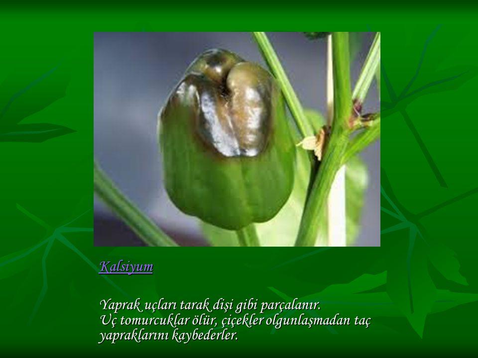 Kalsiyum Yaprak uçları tarak dişi gibi parçalanır. Uç tomurcuklar ölür, çiçekler olgunlaşmadan taç yapraklarını kaybederler.
