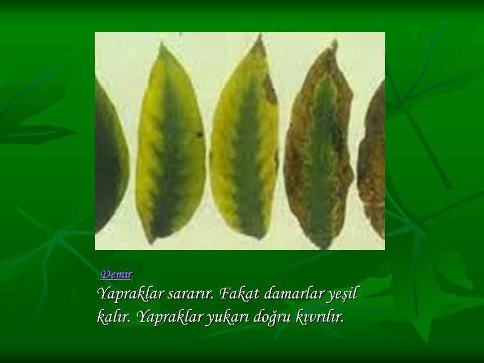 Demir Yapraklar sararır. Fakat damarlar yeşil kalır. Yapraklar yukarı doğru kıvrılır.