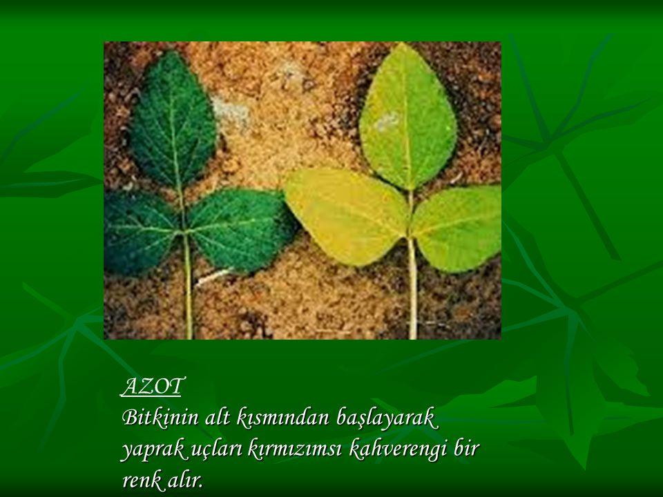 Bitkinin alt kısmından başlayarak yaprak uçları kırmızımsı kahverengi bir renk alır. AZOT Bitkinin alt kısmından başlayarak yaprak uçları kırmızımsı k