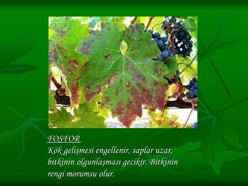 FOSFOR Kök gelişmesi engellenir, saplar uzar, bitkinin olgunlaşması gecikir. Bitkinin rengi morumsu olur.