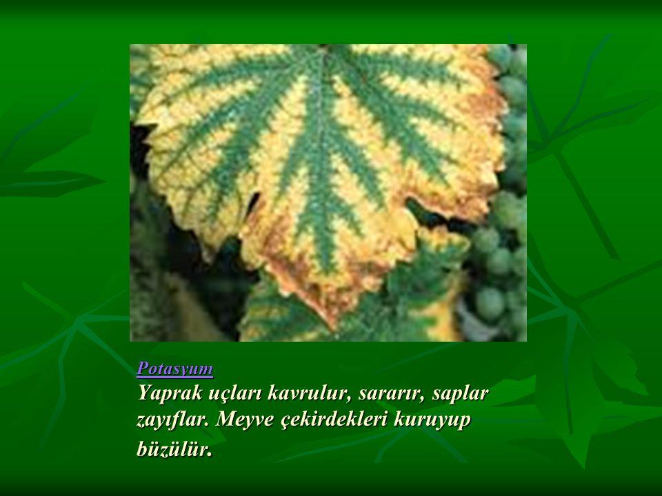 Potasyum Potasyum Yaprak uçları kavrulur, sararır, saplar zayıflar. Meyve çekirdekleri kuruyup büzülür. Potasyum