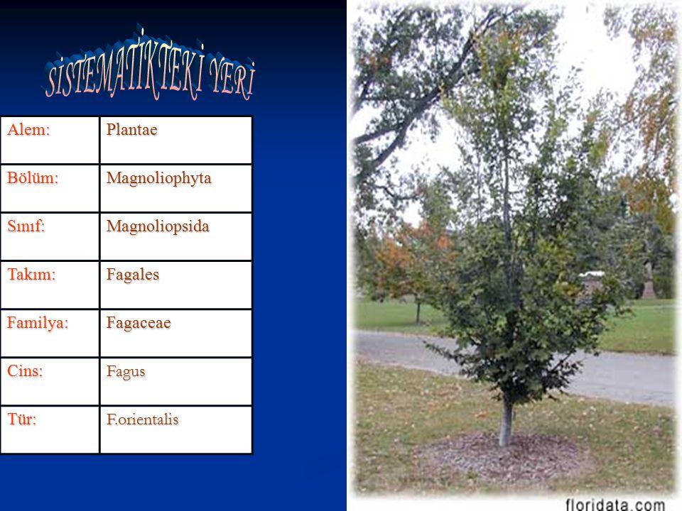 Alem:PlantaeBölüm:Magnoliophyta Sınıf:Magnoliopsida Takım:Fagales Familya:Fagaceae Cins:Fagus Tür:F.orientalis